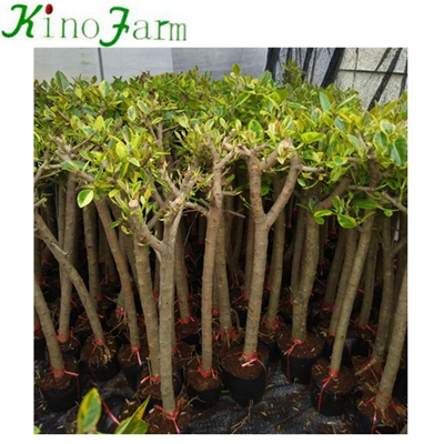 Indoor Natural Plant Ficus Benghalensis