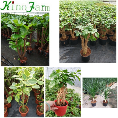 Natural Plant Microcarpa Bonsai Ficus Lyrata