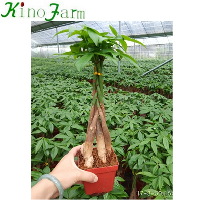 5 Braided Pachira Money Tree Plant