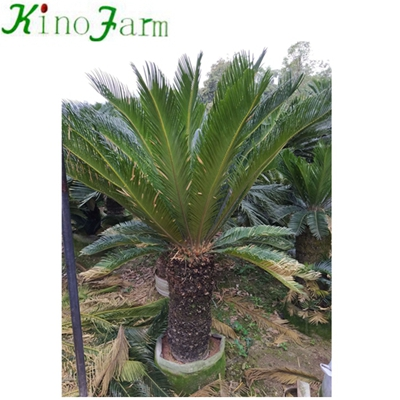 Wholesale Cycad King Sago Palm Trees