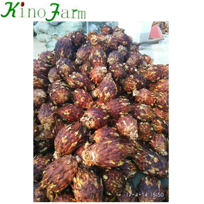Wholesale Bare Root Cycas Plant