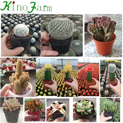 Natural Cactus Plants For Sale