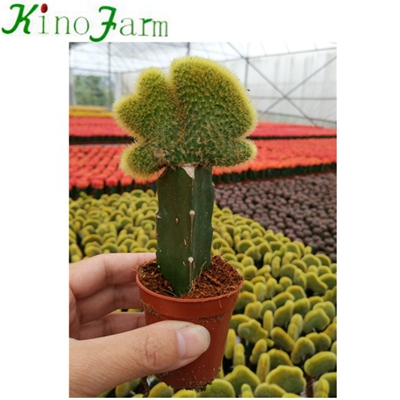 Natural Plant grafted Cactus
