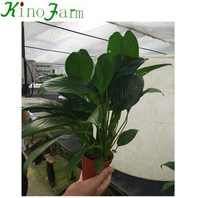 Natural Plant Indoor Plant Spathiphyllum