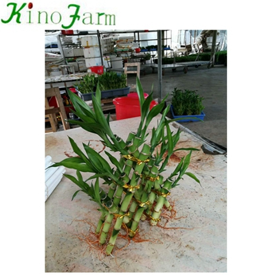 Indoor Bamboo Plants For Sale