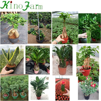 Indoor Mother In Law's Tongue Flower