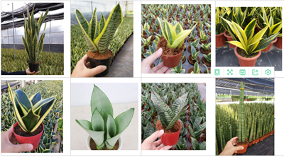 Wholesale Small Sansevieria Snake Plant
