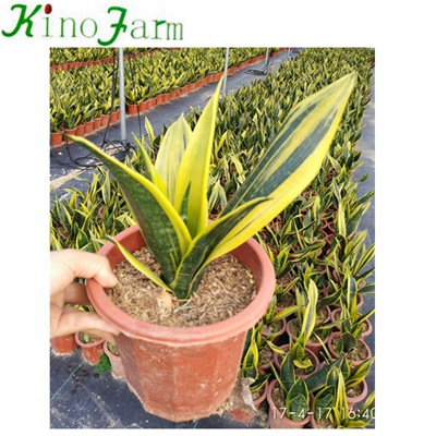 Golden Sansevieria Nice Golden Sansevieria For Sale