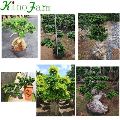 8 Shape Ficus Bonsai Tree