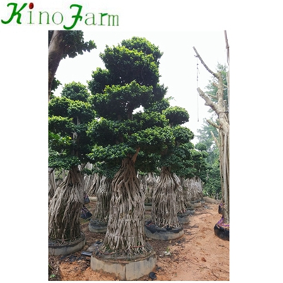 Ficus Microcarpa Best Bonsai Trees
