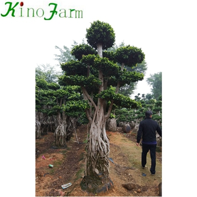 Outdoor Ficus Microcarpa Fig Bonsai