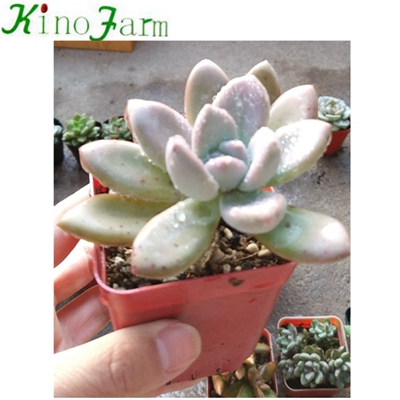 Natural Plant Indoor succulents for sale