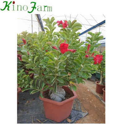 Natural Adenium Desert Rose China