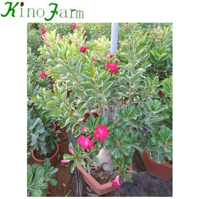 Natural Plant China Adenium Desert Rose