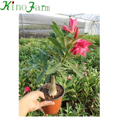 China Adenium Desert Rose Bonsai