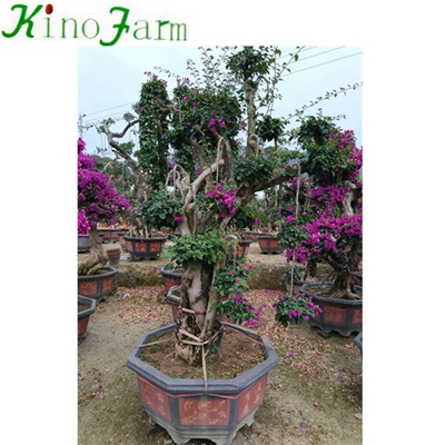 Natural Plant Outdoor Plant Bonsai Bougainvillea