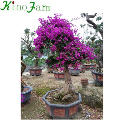Outdoor Bonsai Bougainvillea Colors