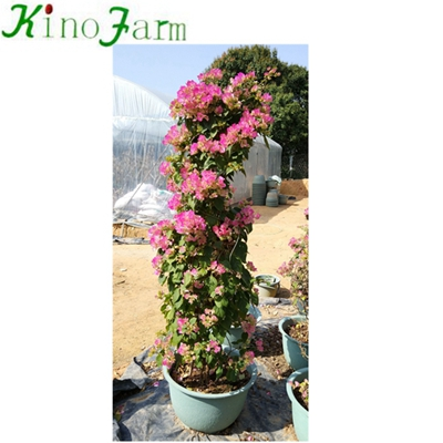 Whosale Outdoor Bougainvillea Bonsai