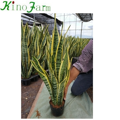 Different sansevieria varieties