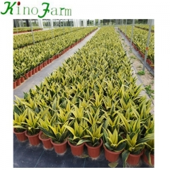 Golden sansevieria for sale