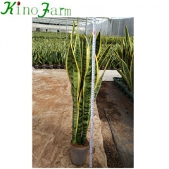 Mother In Law's Tongue