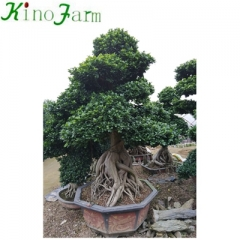 outdoor ficus tree