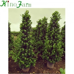 natural bonsai tree Cone Shape Bonsai Ficus for sale