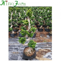 S ficus trees for sale online