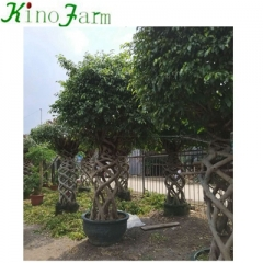 chinese bonsai tree for sale