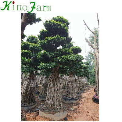 ficus microcarpa bonsai big tree