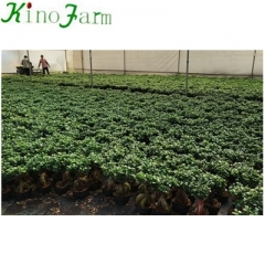 China Ficus Ginseng Tree
