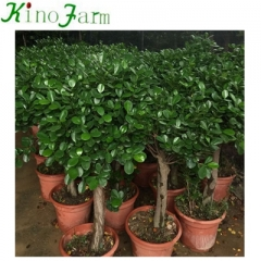 different types of outside bonsai tree for sale
