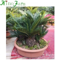 Multi-head Cycad Plant
