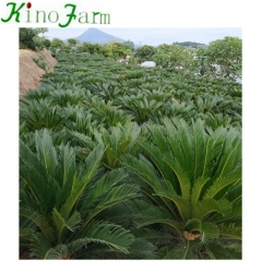 large sago palm