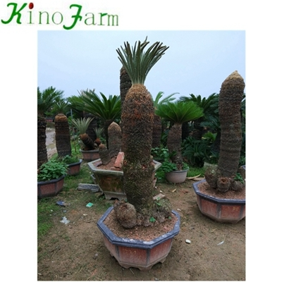 different types of sago palms