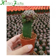 Flowering Grafted Cactus