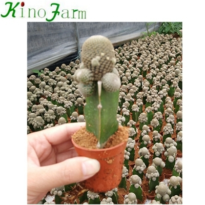 wholesale indoor cactus