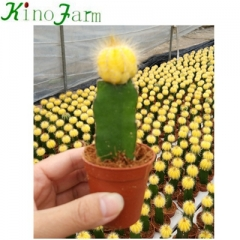 cactus for sale