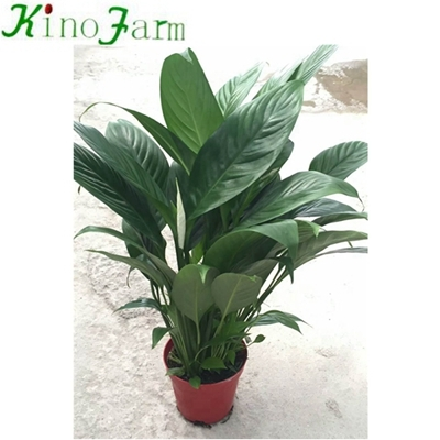Indoor peace lily plant