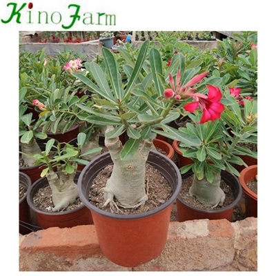 Adenium Desert Rose China