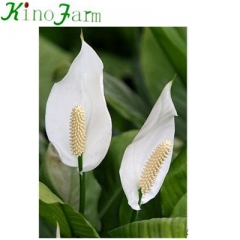 Spathiphyllum Plant Peace Lily
