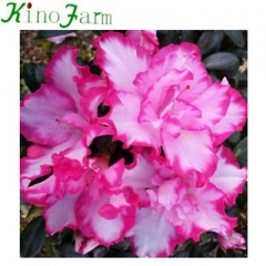 Natural Indoor rhododendron plant