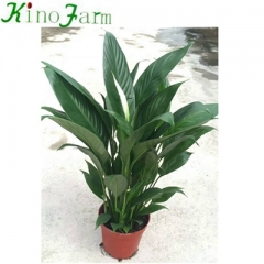 Indoor Plant Peace Lily