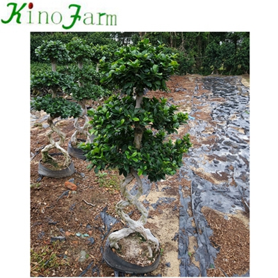8 Form Ficus Bonsai